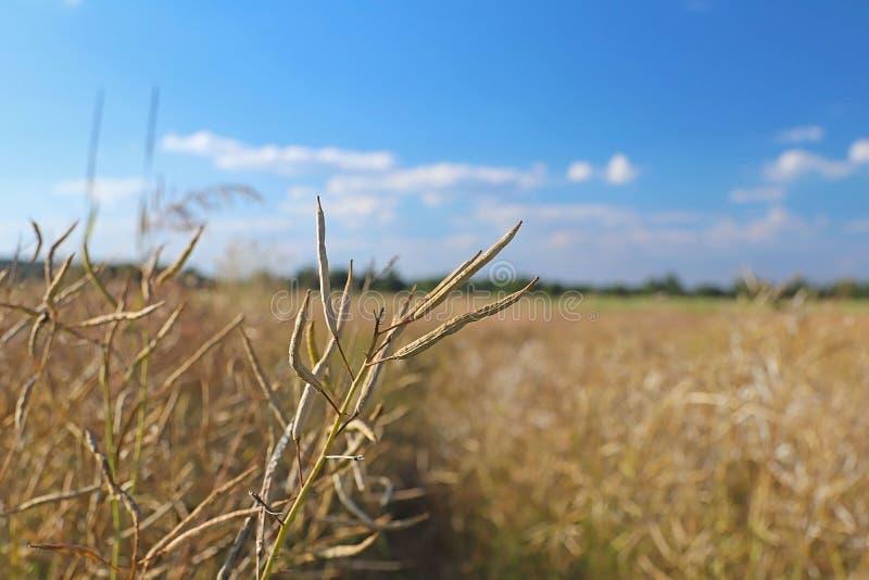 Vagem madura da violação no campo nos raios de luz solar agricultura Terras de exploração agrícola A colheita de colheitas oleosa fotografia de stock