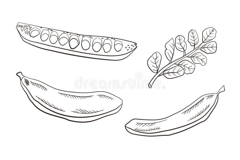 Vagens da alfarroba do vetor e folhas, ilustração de tiragem gravada isolada no fundo branco, produto da cafeína livre ilustração do vetor