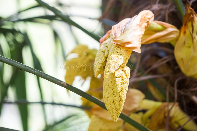 vagens da semente da palmeira do moinho de vento fotografia de stock