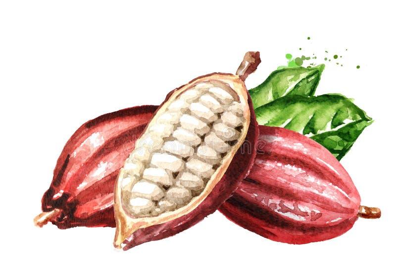 Vagens de feijão abertas do cacau e folhas verdes Superfood Ilustração tirada mão da aquarela, isolada no fundo branco ilustração do vetor