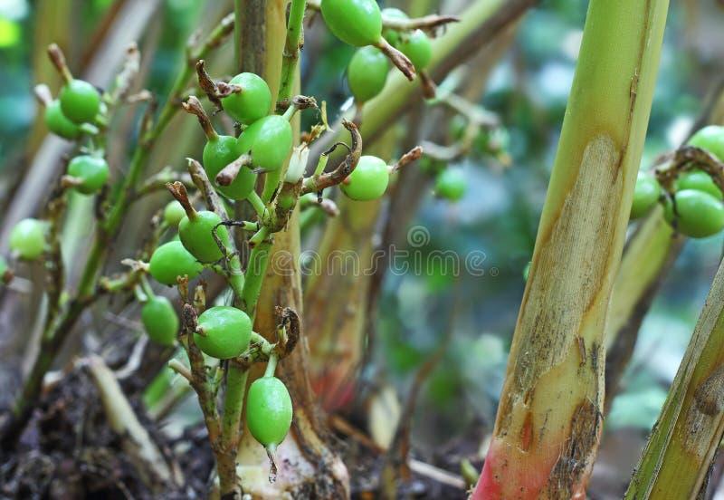 Vagens verdes do cardamomo na planta imagens de stock royalty free