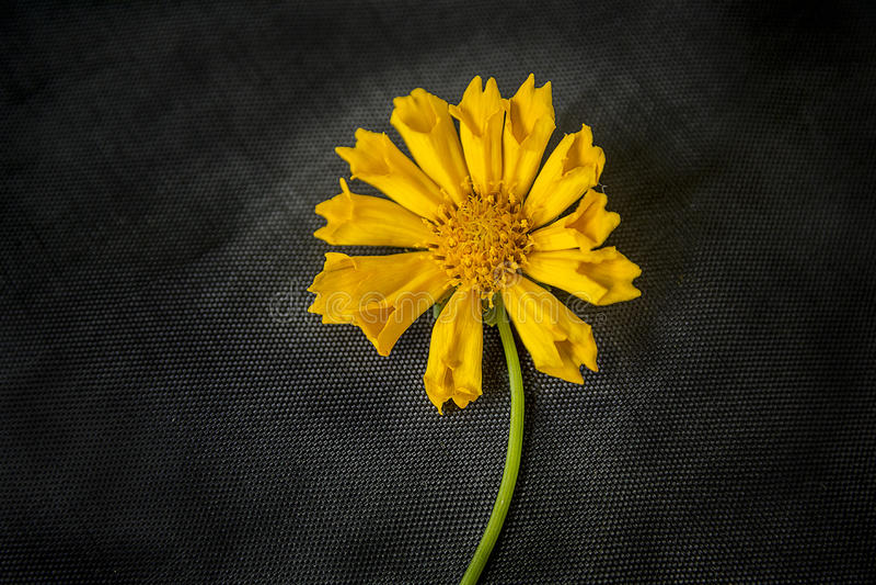 Vagga den gula blomman arkivfoton