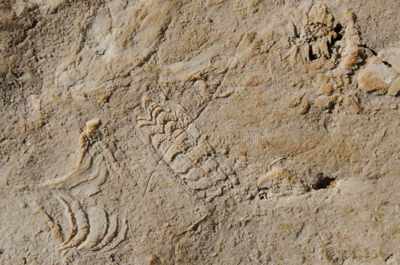 Vagga fossil arkivbilder