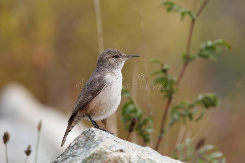 Vagga gärdsmygfågeln fotografering för bildbyråer