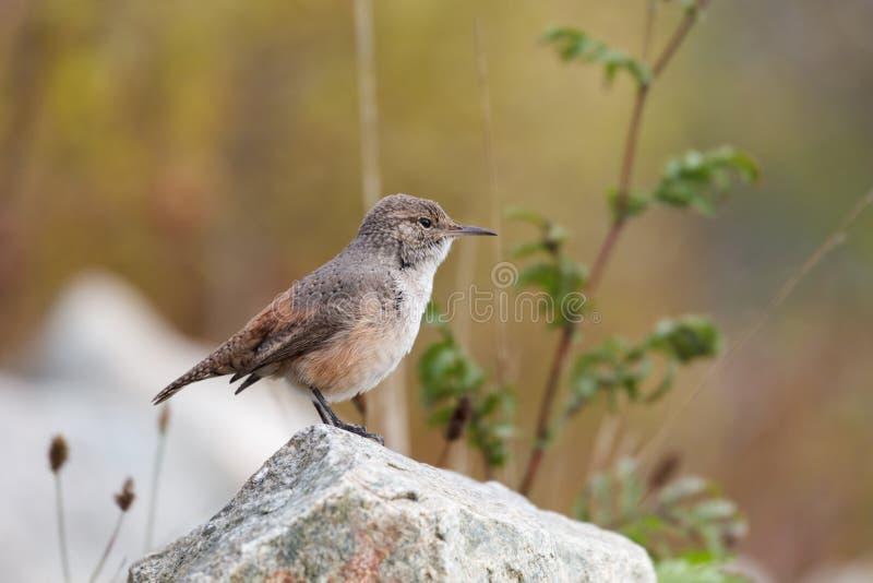 Vagga gärdsmygfågeln royaltyfri fotografi