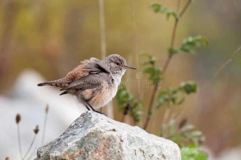 Vagga gärdsmygfågeln arkivfoton