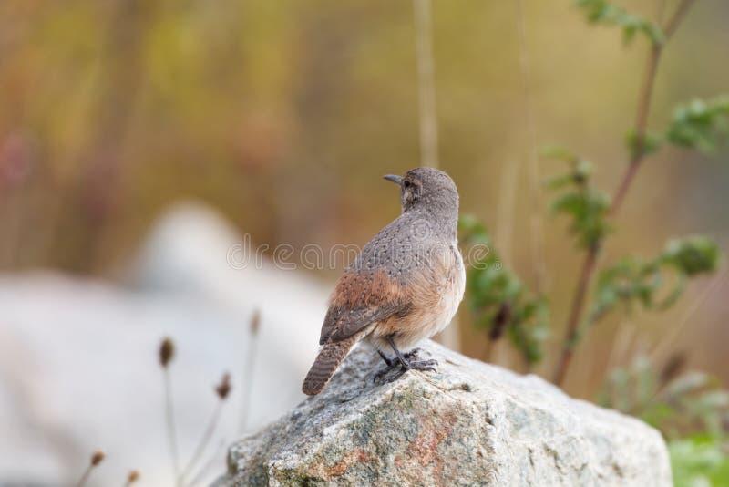 Vagga gärdsmygfågeln royaltyfri foto