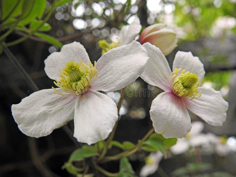Vagga rosor som lösa blommor gränsar högväxta pelargon för växtsommarvår fotografering för bildbyråer