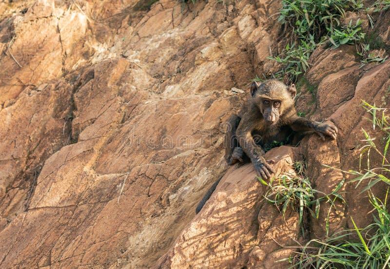 Vaggar den djura klättringen för ung babianapa och att hålla fast vid på vid Nile River i Etiopien Afrika fotografering för bildbyråer