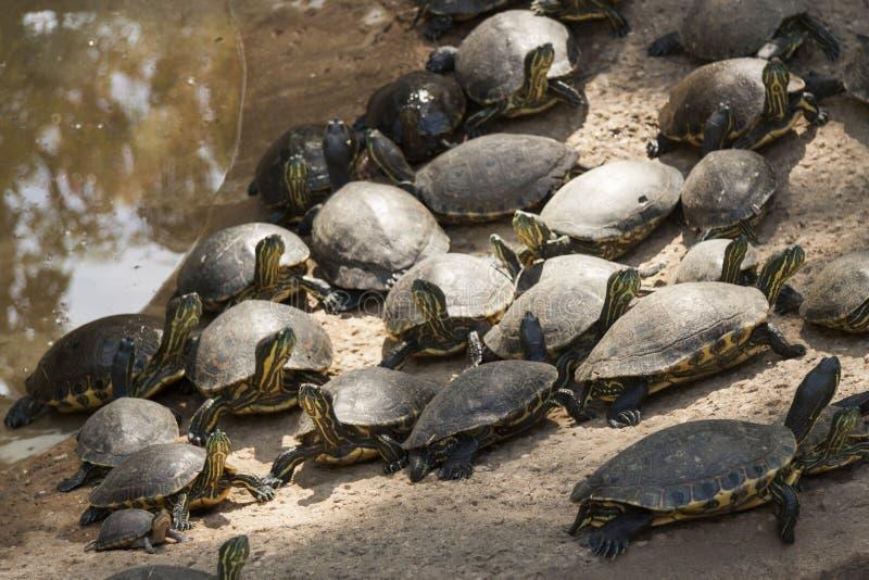 Vaggar den gröna sköldpaddan för emydidaen på, La Venta parkerar Villahermosa tabasco, Mexico royaltyfri foto