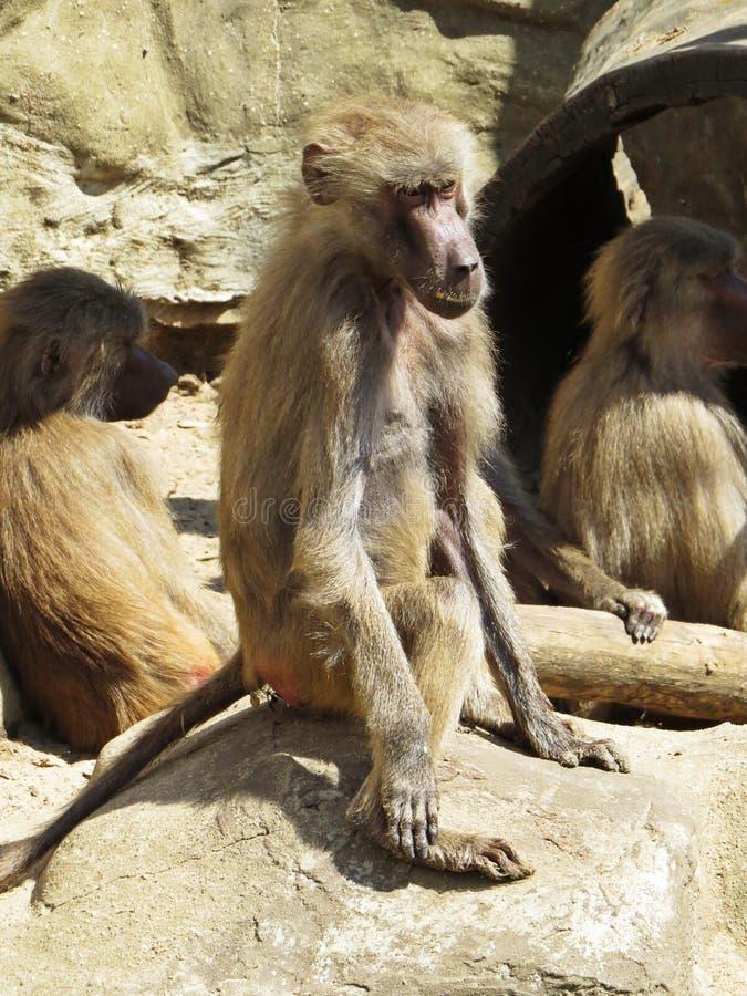 Vaggar den trevliga detaljbilden för kuriositeter av apor för Macaquesapor på stenen royaltyfri foto