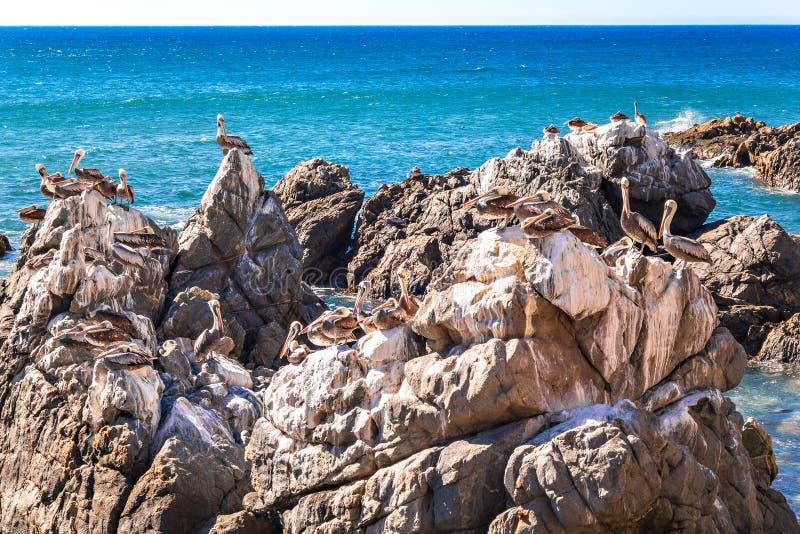 Vaggar med bruna pelikan i Chile arkivfoto