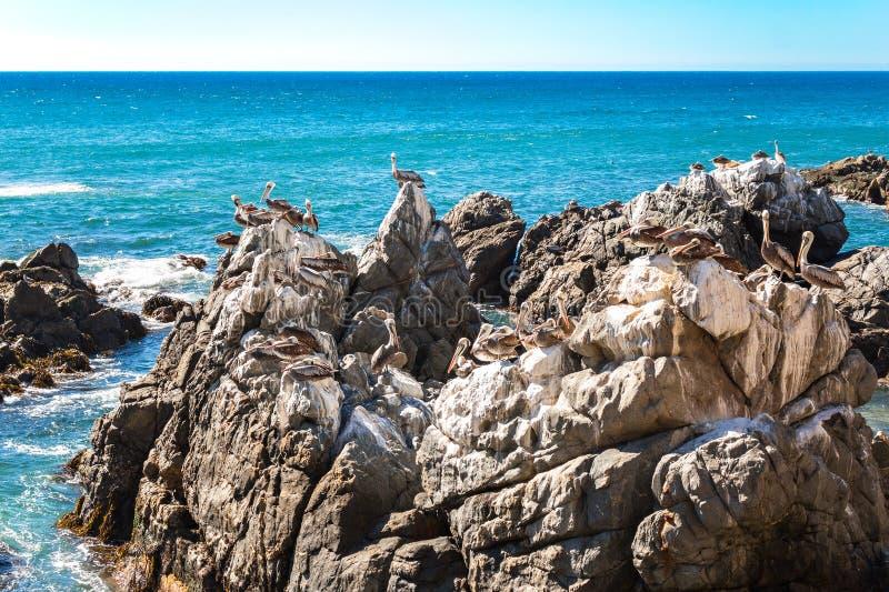 Vaggar med bruna pelikan i Chile arkivbild