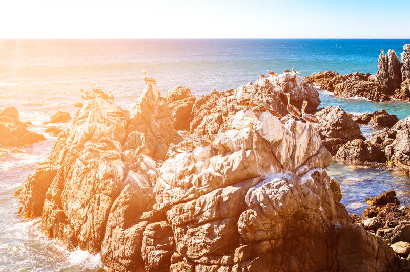 Vaggar med bruna pelikan i Chile royaltyfria bilder