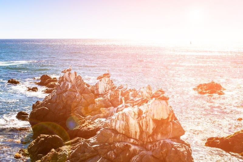 Vaggar med bruna pelikan i Chile royaltyfri foto