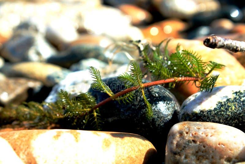 Vaggar och alger från kusten av Lake Baikal royaltyfria bilder