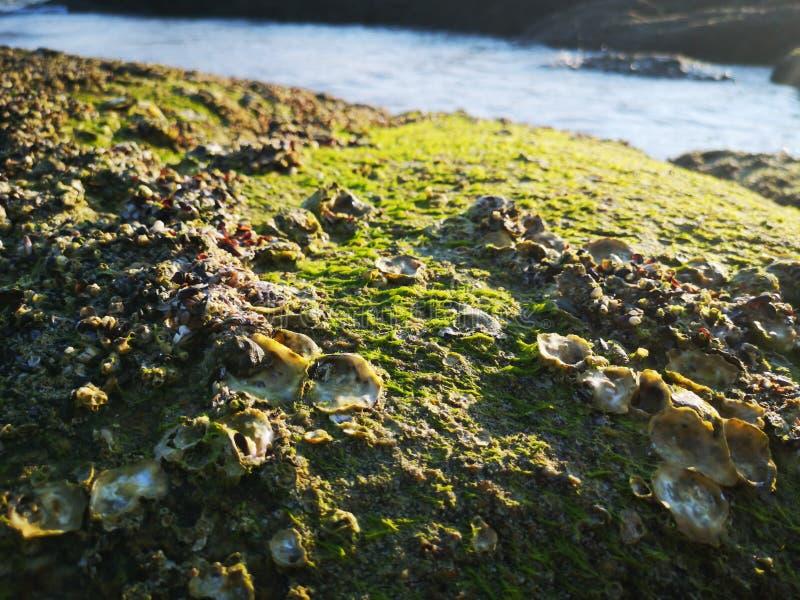 Vaggar vid havet, med restna av skal, skal och gr?n mossa ?verst arkivbilder
