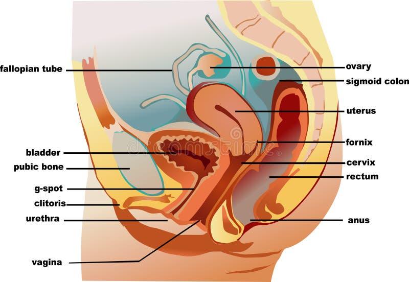 Vagina stock illustratie