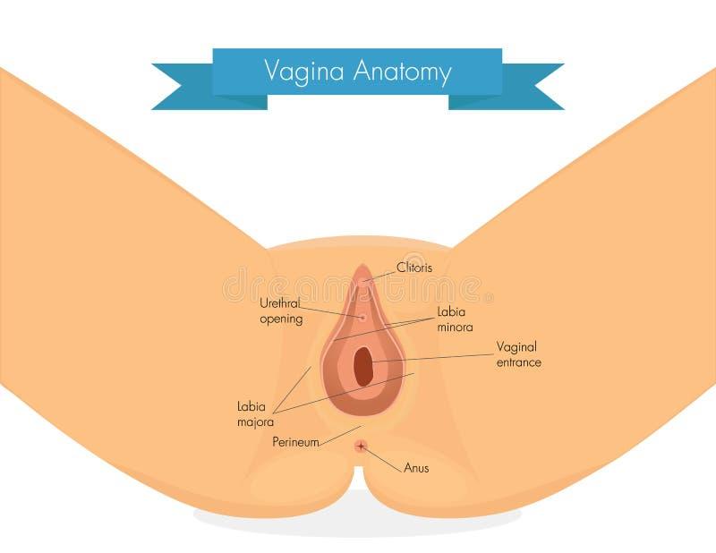 Vagina Anatomy Clean Illustration Of Vulva Stock Vector
