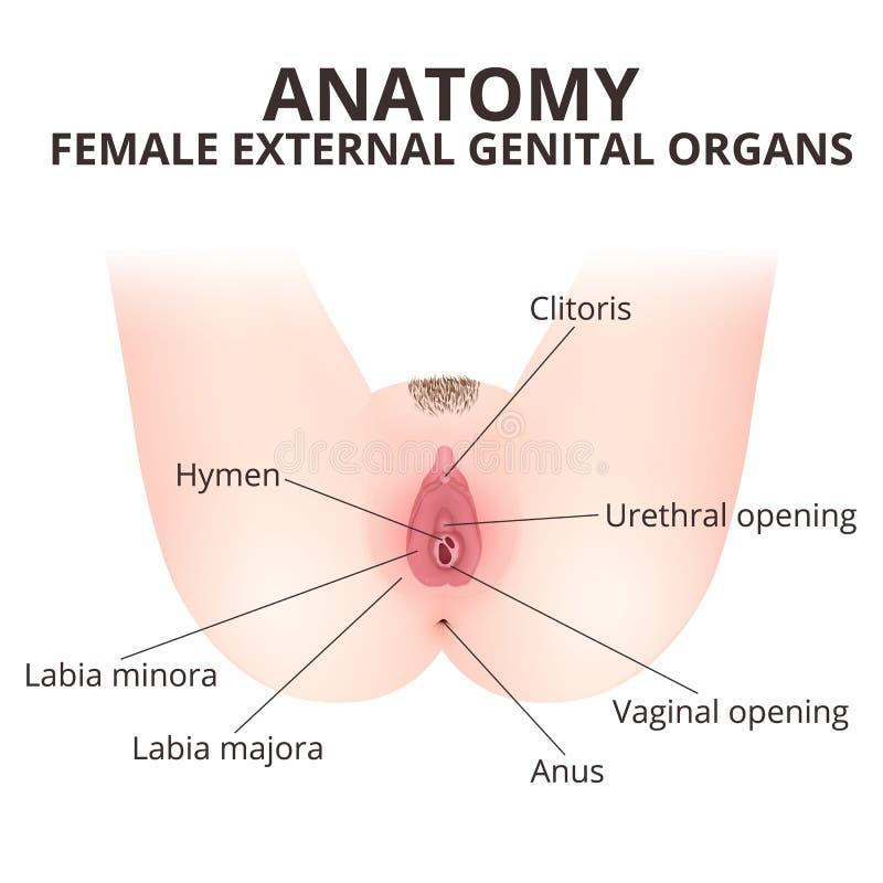 Vagina Femenina De La Anatomía Del Cartel Médico Ilustración del ...