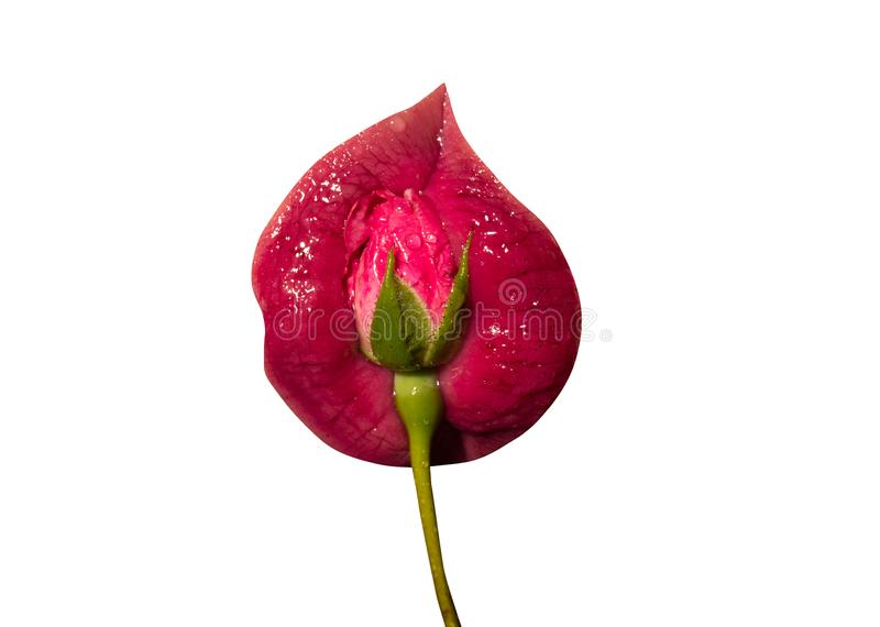 Vagina, gynecology, beautiful female lips with flower, freshness and passion. Delicious female mouth. Pink Rose stock photos