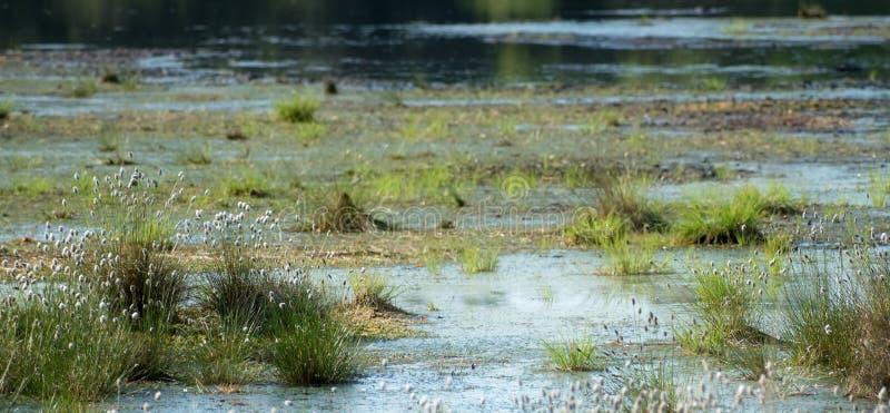 Vaginatum Eriophorum травы хлопка в воде в landsc трясины стоковое фото rf