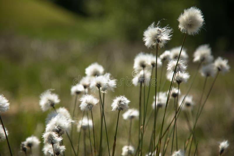 Vaginatum Eriophorum травы хлопка стоковые изображения rf