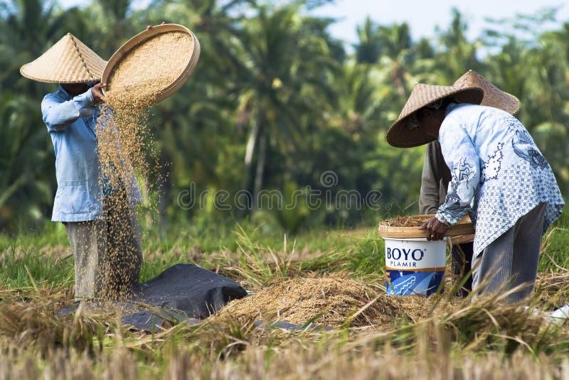 Vagliatura del riso in Bali, Indonesia immagine stock