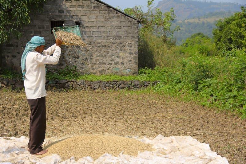 Vagliatura del vento dell'agricoltore, essiccazione e riso di separazione dopo il raccolto, villaggio di Sonapur, vicino a Panshe fotografie stock