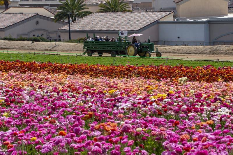 Vagone in pieno degli ospiti che godono degli acri dei fiori giganti del ranunculus fotografia stock
