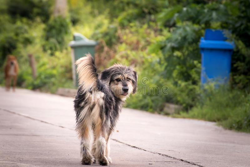 Vagrant dog standing outside watching staring at camera. The dog looking at photographer,Stray dog,Homeless dog royalty free stock photos
