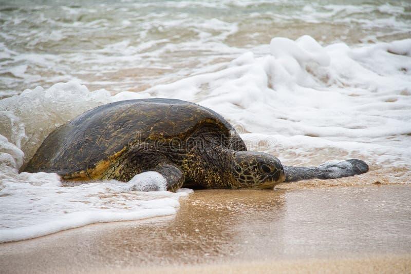 Vagues éclaboussant sur une tortue de mer verte hawaïenne photographie stock libre de droits