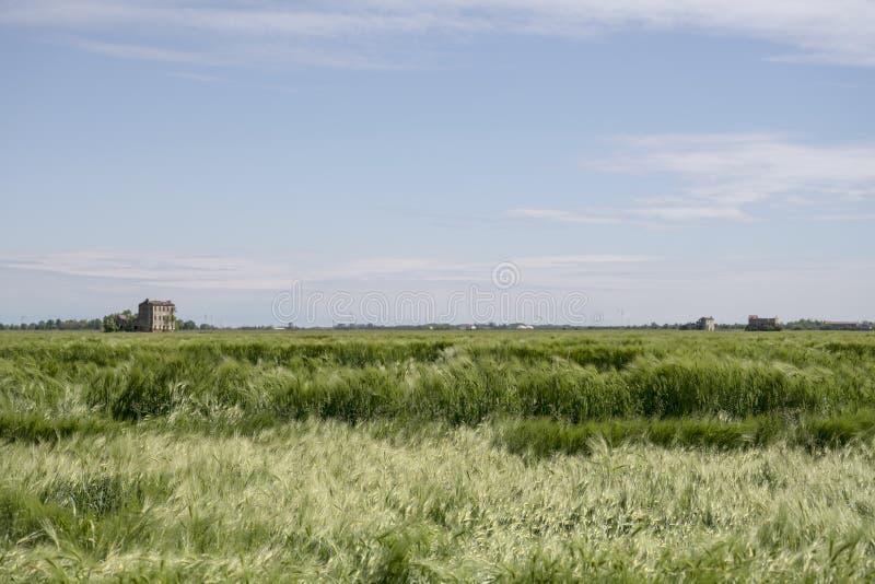 Vagues des transitoires de ma?s vert remu?es par le vent dans les plaines pr?s de Portogruaro, Italie photographie stock