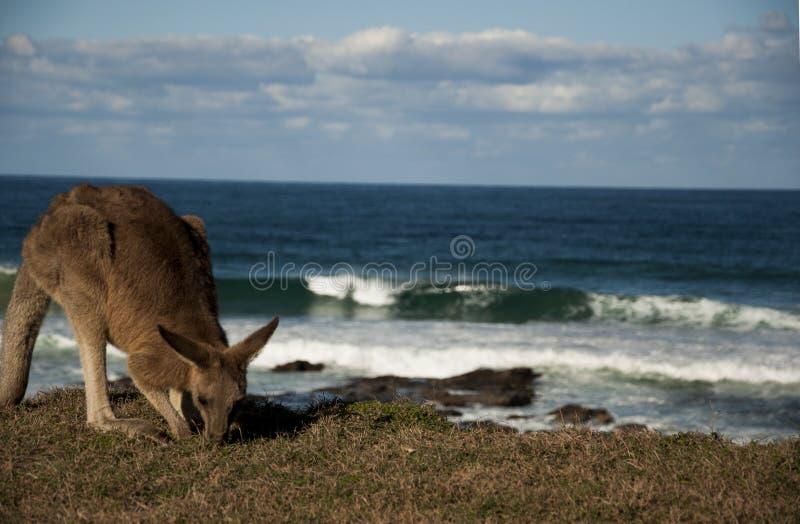 Vagues et kangourou images stock