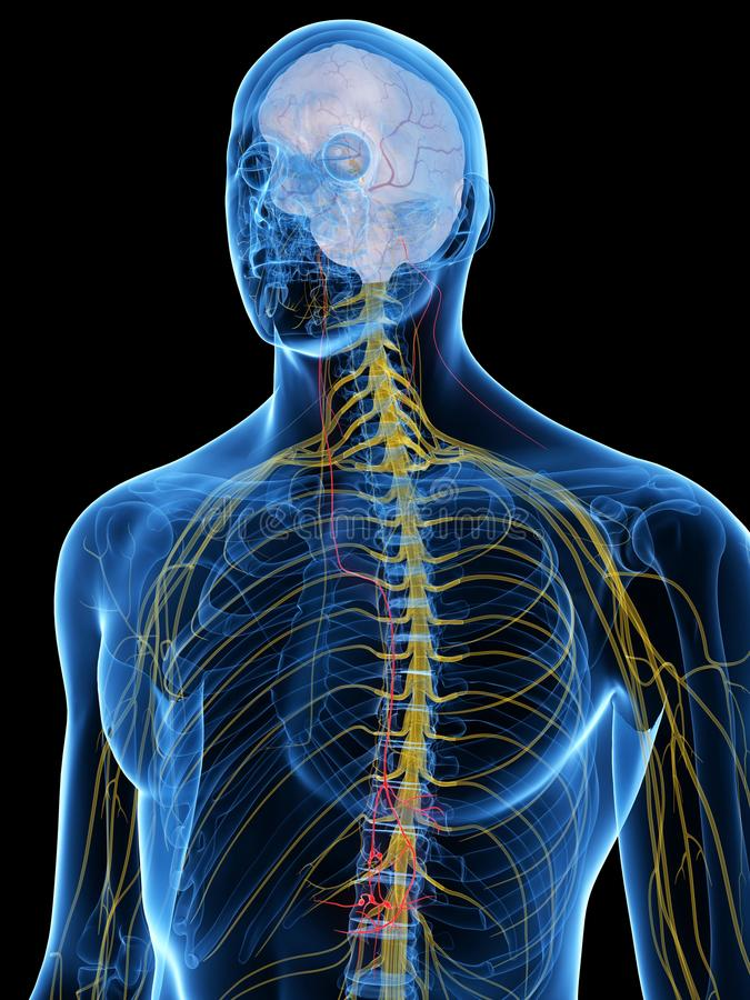 The Vagus Nerve. 3d rendered medically accurate illustration of the Vagus Nerve royalty free illustration
