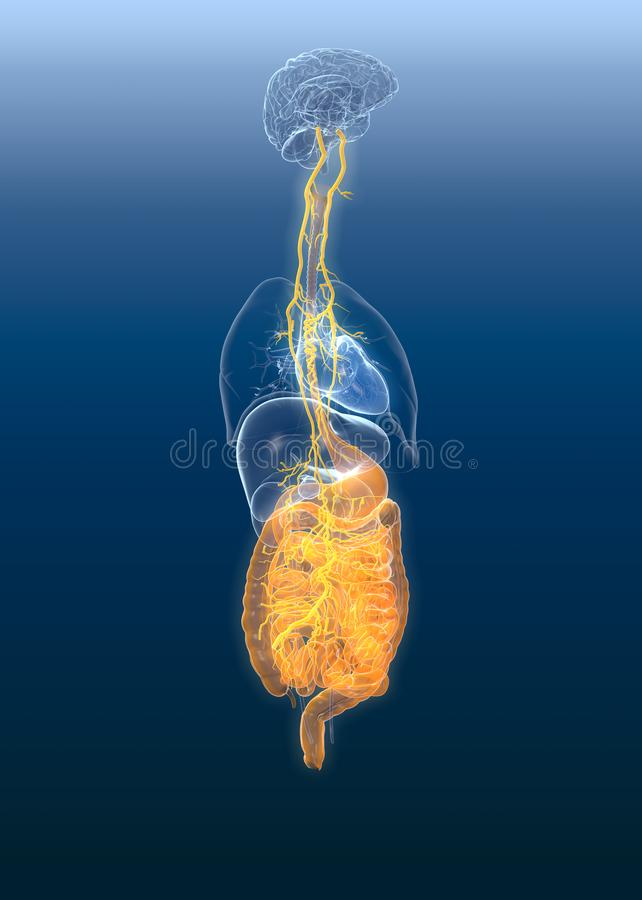 Vagus nerve with painul stomach and digestive system, 3D medically illustration. This medically illustration showing the vagus nerve with painul stomach and vector illustration