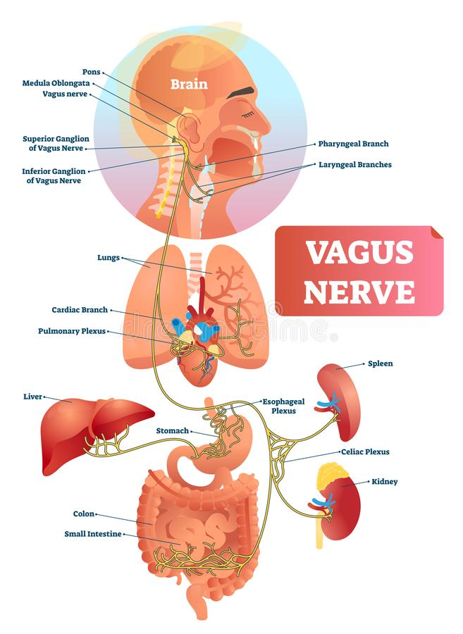 Free Vagus Nerve Vector Illustration. Labeled Anatomical Structure And Location. Stock Photo - 141654750