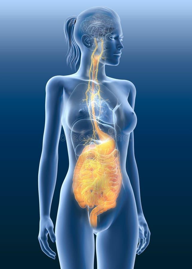 Vagus nerw z bolesnym żołądkiem i trawiennym systemem, 3D medically ilustracyjny ilustracji