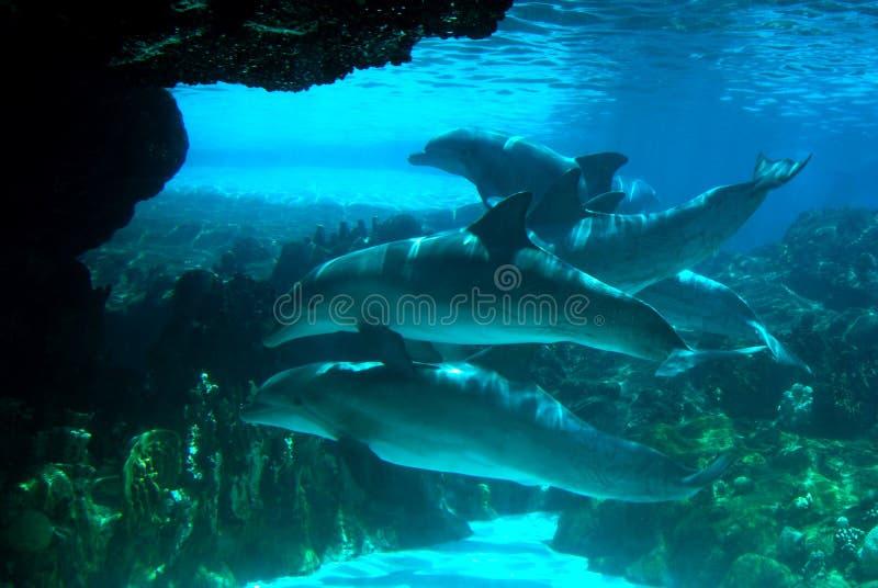 Vaina de delfínes foto de archivo