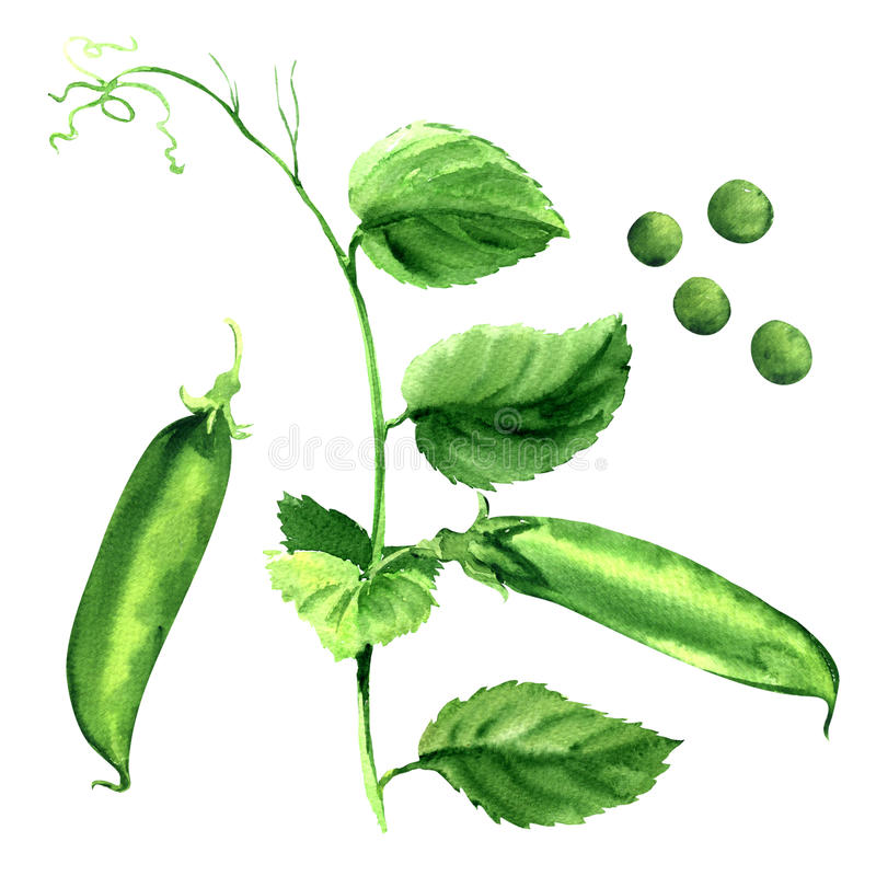 Vaina de guisante verde fresca, planta de guisantes, aislada, ejemplo de la acuarela imagen de archivo