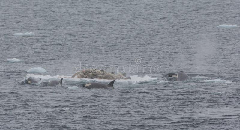 Vaina de la caza de la orca para los sellos de Crabeater en una masa de hielo flotante de hielo, península antártica imágenes de archivo libres de regalías
