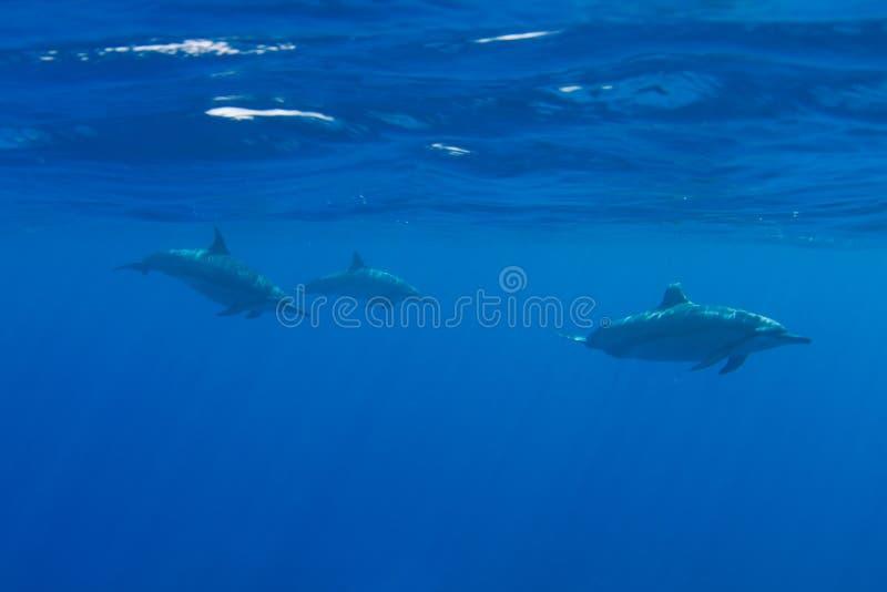 Vaina de los delfínes hawaianos del hilandero imagen de archivo libre de regalías
