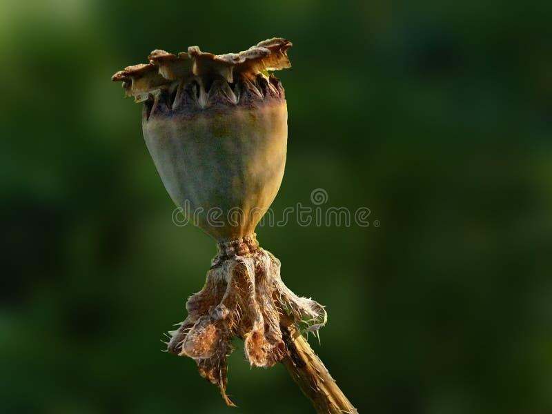 Vaina seca de la semilla de Sidelit de la amapola oriental foto de archivo libre de regalías
