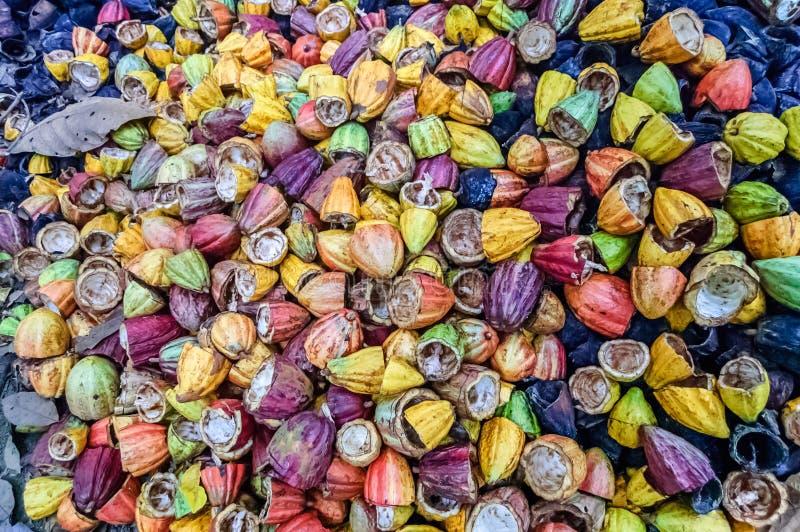Vainas coloridas, vacías del cacao, Guatemala fotografía de archivo