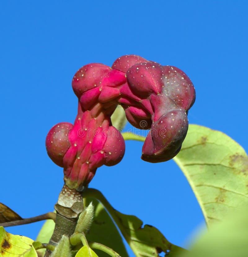 Vainas de la semilla de sayonara de la magnolia foto de - Semilla de magnolia ...