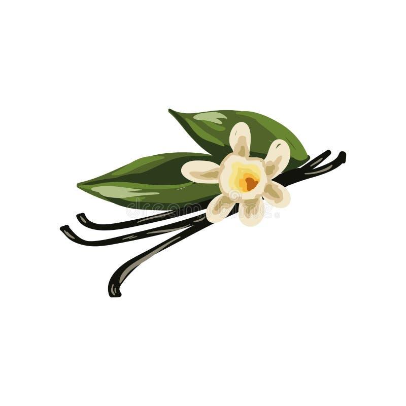 Vainas de la vainilla, flor de la orquídea y hojas del verde aisladas en blanco stock de ilustración