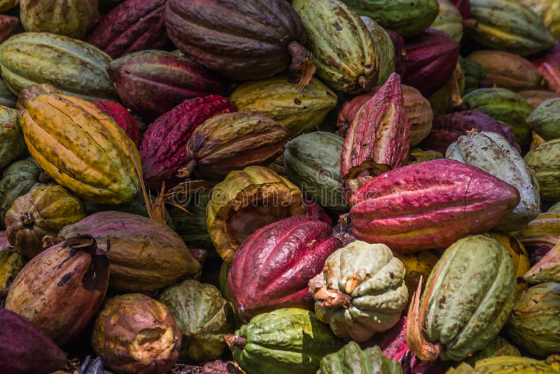 Vainas del cacao fotos de archivo