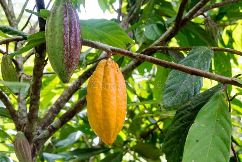 Vainas del cacao foto de archivo