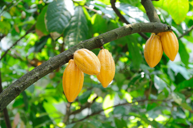 Vainas del cacao imágenes de archivo libres de regalías