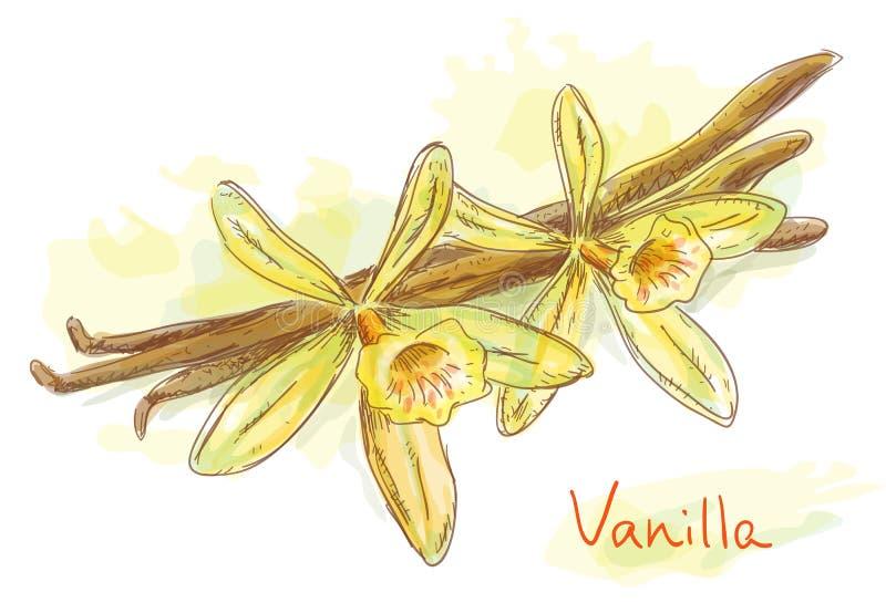 Vainilla de la flor con las vainas secadas. ilustración del vector